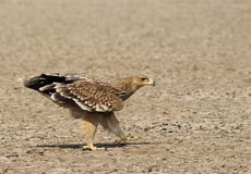 Walking Imperial Eagle from Gujarat, India Stock Images
