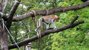 Walking and jumping proboscis monkey stock video