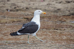 Walking Kelp Gull Royalty Free Stock Image