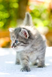 Walking kitten Royalty Free Stock Images