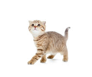 Walking kitten or cat  striped isolated studio Royalty Free Stock Photo