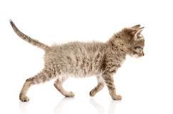 Walking kitten. isolated on white background Royalty Free Stock Images