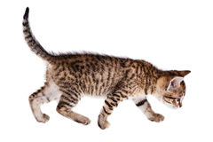 Walking kitten Stock Photos