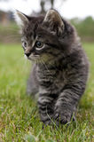 Walking kitten Royalty Free Stock Photo