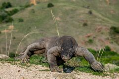 Free Walking Komodo Dragon Stuck Out Forked Tongue And Sniff Air. Royalty Free Stock Image - 172350726