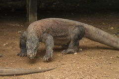 Walking Komodo dragon Stock Image
