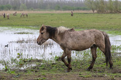 Walking konik horse Royalty Free Stock Photos