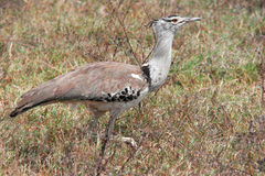 Walking Kori Bustard in Serengeti, Tanzania Stock Photography