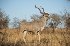 Walking Kudu Stock Photography