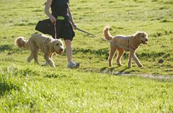 Walking the labrapoodles Stock Photos