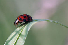Walking lady bug Stock Photography