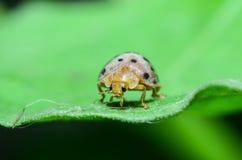 Walking ladybug Stock Photos
