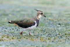Walking lapwing in marsh Royalty Free Stock Photos