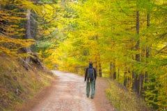 Walking in larch tree woodland, autumn season Royalty Free Stock Photo