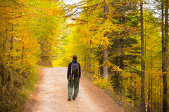 Walking in larch tree woodland, autumn season Stock Image