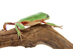 Walking leaf frog on white Royalty Free Stock Image
