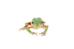 Walking leaf frog on white Stock Photo