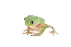 Walking leaf frog on white Royalty Free Stock Photos