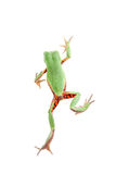 Walking leaf frog on white Royalty Free Stock Photography