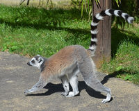 Walking Lemur Royalty Free Stock Image