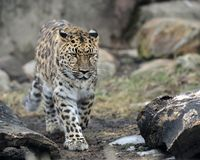 Walking leopard Royalty Free Stock Images