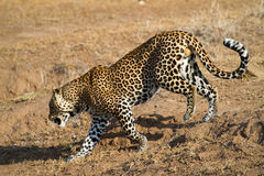 Walking leopard Stock Photography