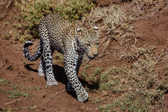 Walking leopard. Photo taken during the safari in Serengetti National park. Tanzania Stock Photography