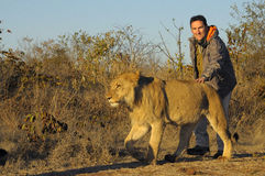 Walking with a lion. This is the lion walk experience in Zimbabwe, where you can relly touch the king of savannah Royalty Free Stock Photos