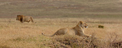 Walking lion and lying lioness Stock Photo