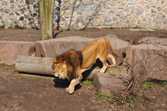 Walking lion in zoo Royalty Free Stock Photos