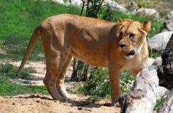 Walking lioness Stock Photo