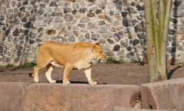 Walking lioness in zoo Royalty Free Stock Photo