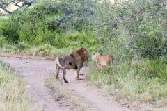 Walking Lions Royalty Free Stock Photos