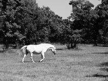 Walking Lipizzaner stallion Royalty Free Stock Images