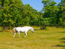 Walking Lipizzaner stallion Royalty Free Stock Photos