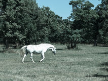 Walking Lipizzaner stallion Stock Photography