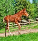 Walking little chestnut foal Royalty Free Stock Image