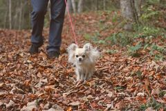 Walking a longhair chihuahua Stock Photo
