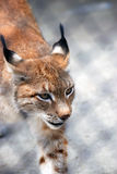 Walking Lynx rufus Stock Photo