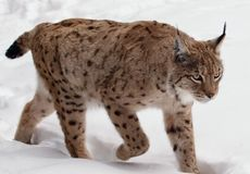 Walking Lynx on snow in winter. Walking Lynx on snow the white background in winter Royalty Free Stock Photography