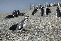 Walking with Magellanic Penguins at Martillo Island, Argentina Stock Images