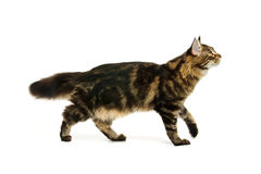 Walking maine coon cat Stock Photos