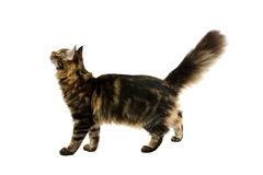 Walking maine coon cat Royalty Free Stock Photos
