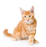 Walking maine coon cat looking at camera. isolated on white Stock Image