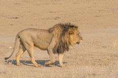 Walking Male Lion. A magnificent male lion walking in the dry Nossob River bed, in the Kgalagadi Transfrontier Park which straddles South Africa and Botswana Stock Images