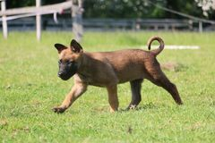 Walking malinois puppy in the garden. Small malinois puppy is walking in the garden Royalty Free Stock Photo