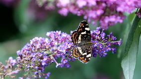 Walking map butterfly at pink Buddleja flower stock video footage