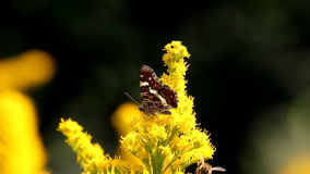 Walking map butterfly at yellow goldenrods stock video
