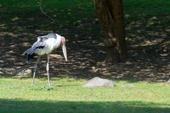 Walking Marabout stork. Marabout stork also known as the undertaker bird doe to its shape Stock Photography