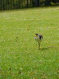 A walking Masked Lapwing bird Royalty Free Stock Image